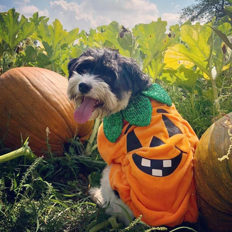 dog as a pumpkin in contest