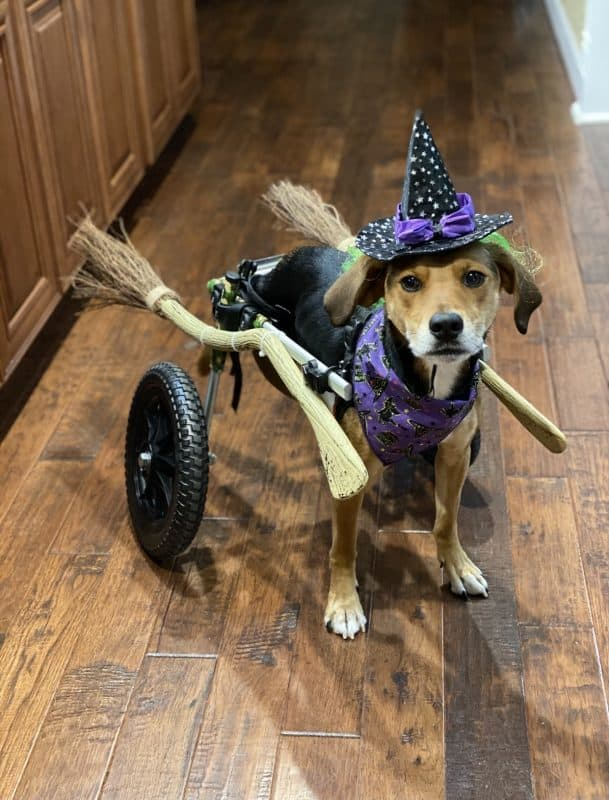 Dog as a witch for contest