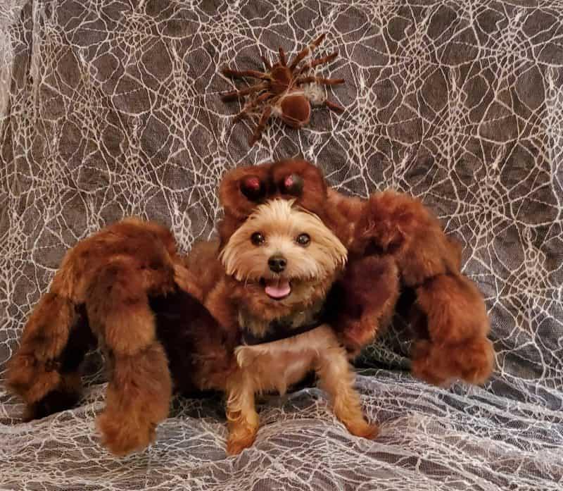 Dog Halloween photo contest spider