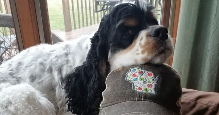 Do Cocker Spaniels Like To Cuddle? 15 Dog Parents Share