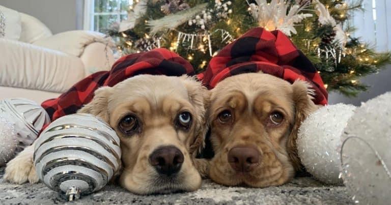 Dex The Halls 2020 Holiday Dog Photo Contest