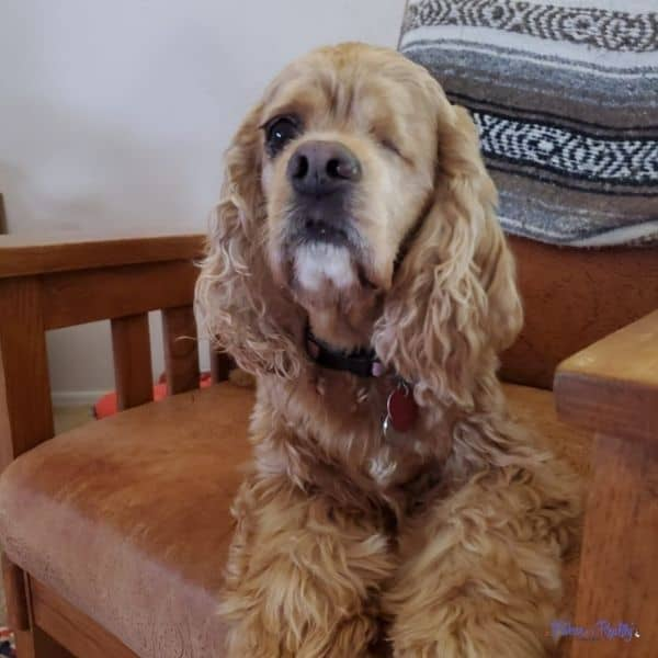 cocker spaniel glaucoma patient