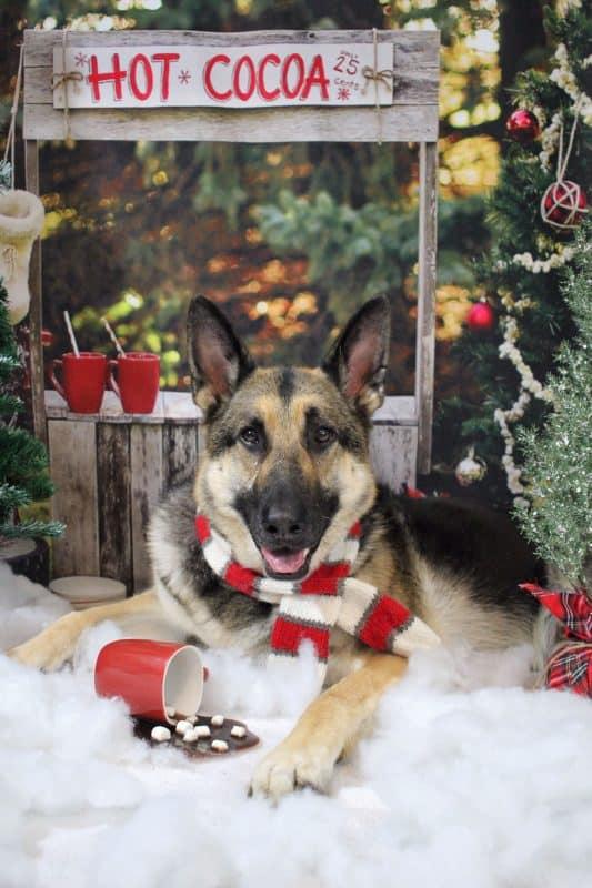 german shepherd dog photo contest winner