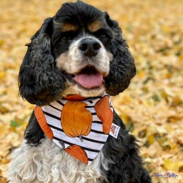 tri color cocker spaniel glaucoma patient