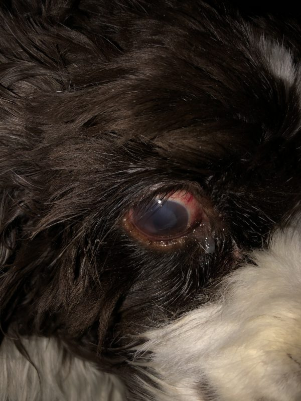 Cocker Spaniel with typical glaucoma signs