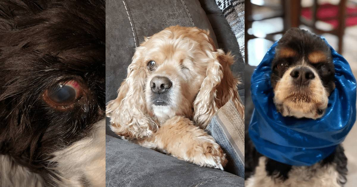 cocker spaniel glaucoma patients