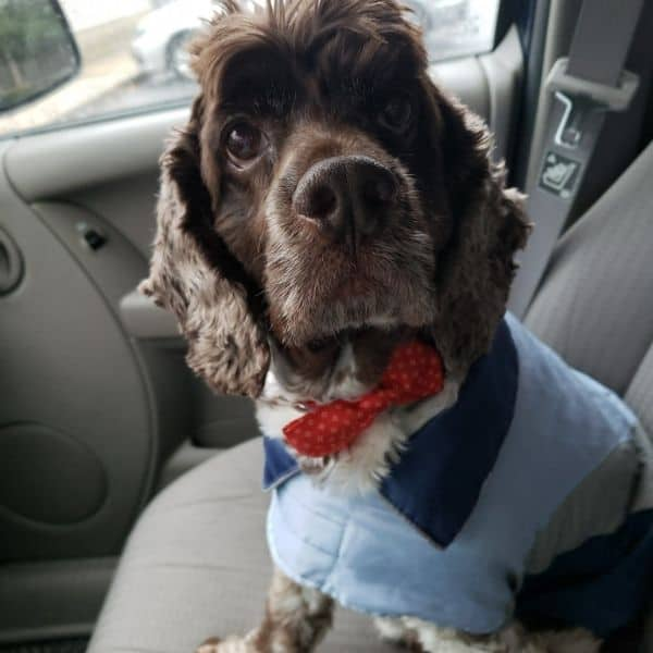 cocker spaniel who has seizures
