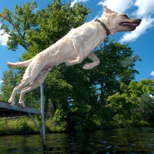dog diving in the summer weather