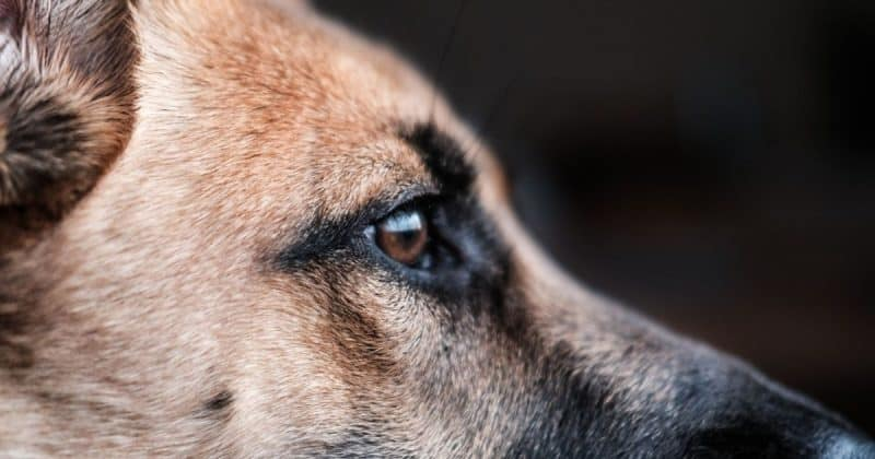 closeup of german shepherd dog