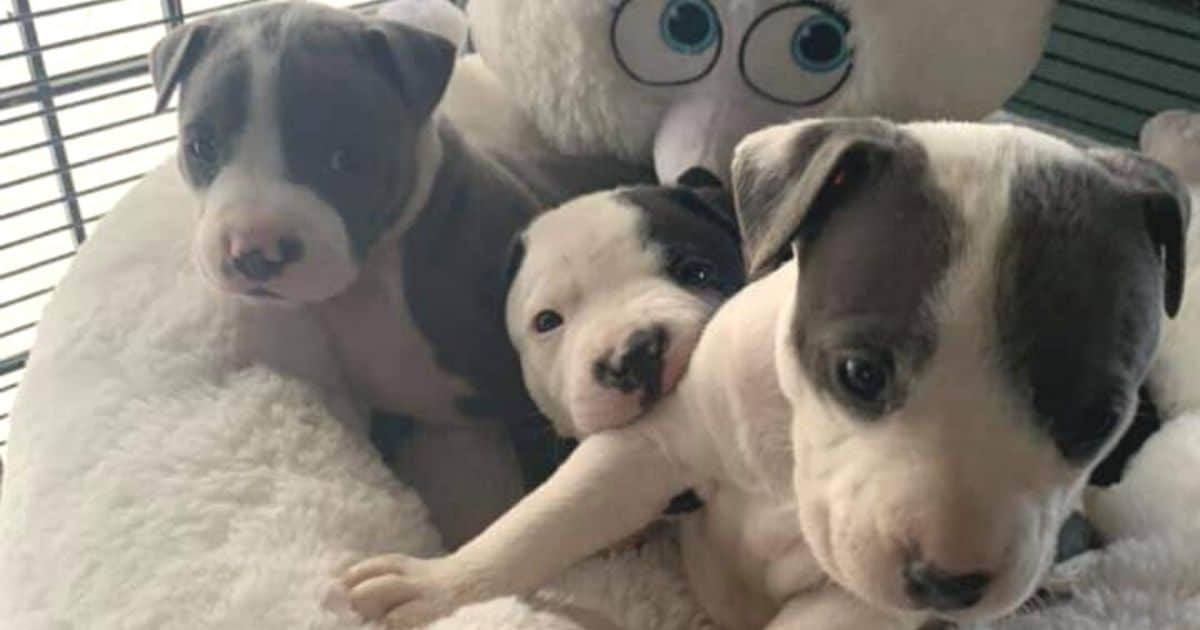 Pit bull mix puppies ready to eat