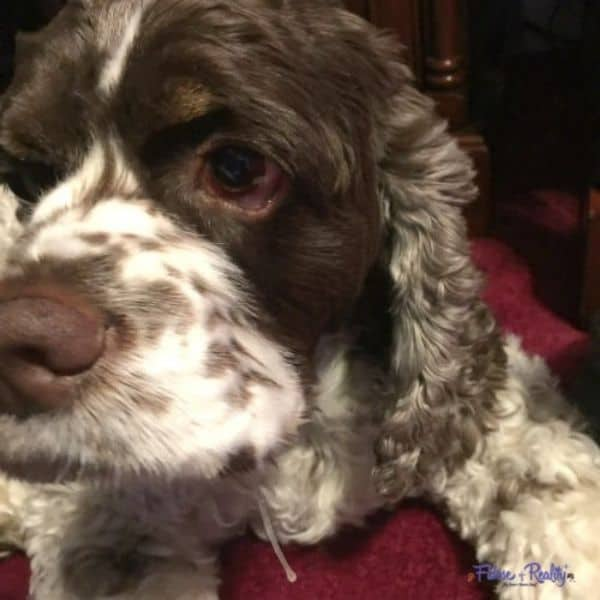 Knowing how to help a dog with kennel cough can be a frustrating battle.