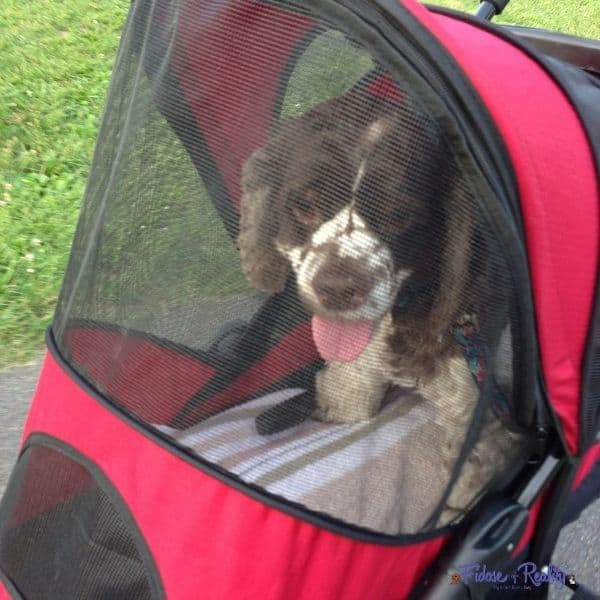 dog in a stroller after surgery