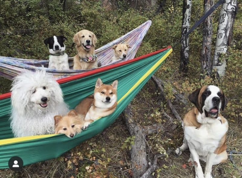 dogs lounging in the hammock