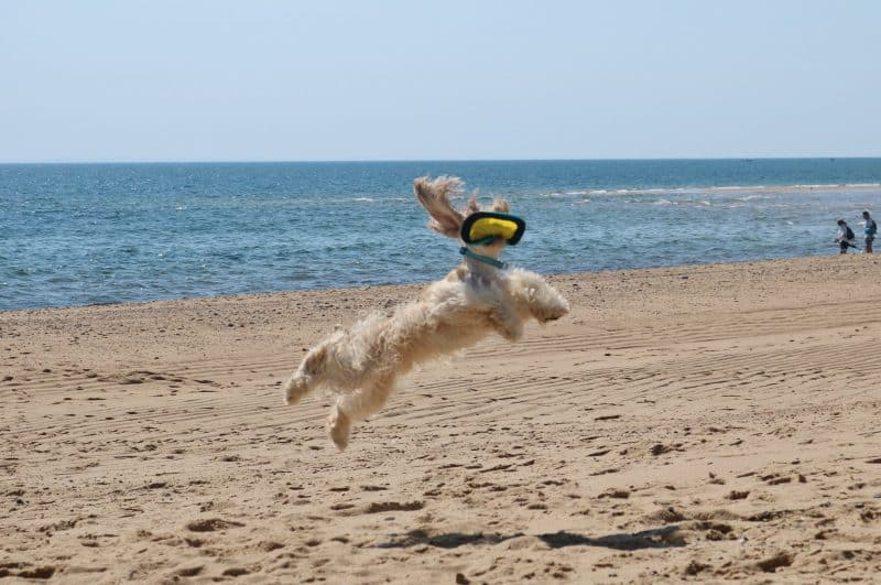 Dog on beach in summer jumps for frisbee