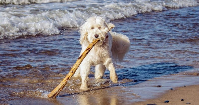 Beach day for dog with a stick