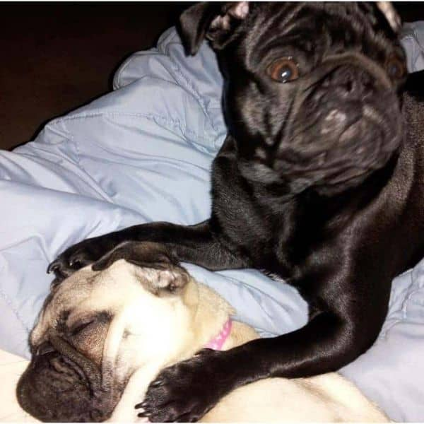 Two Pug dogs snuggle together to display affection.