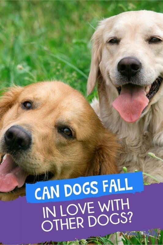 can dogs fall in love with other dogs