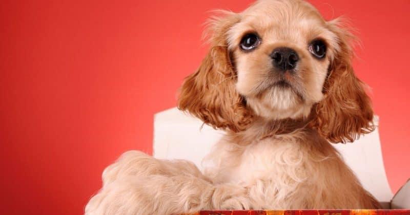 Help for immune mediated thrombocytopenia in dogs