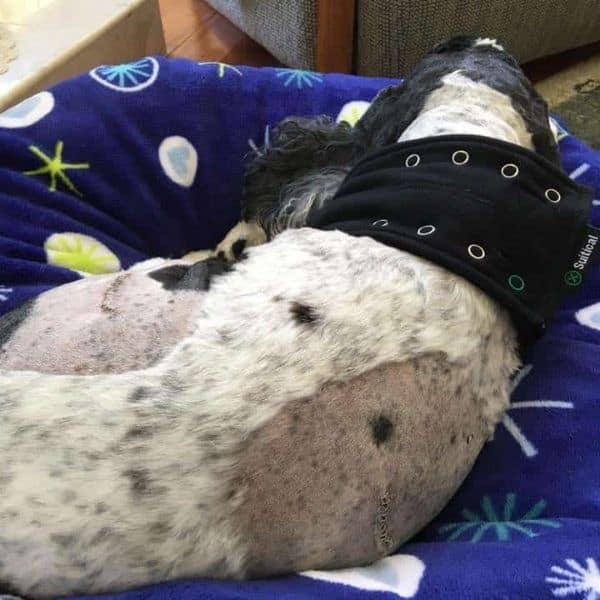 Suitical for dogs recovering from surgery