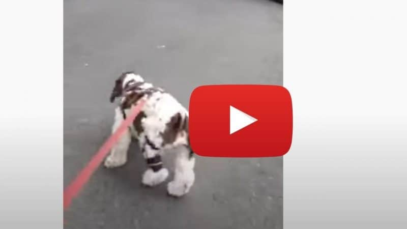 dog limping after tearing ACL