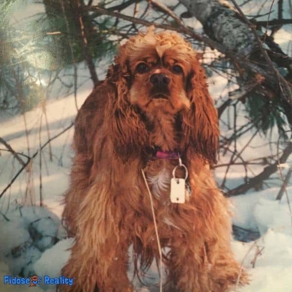 Cocker Spaniel breed questions and answers