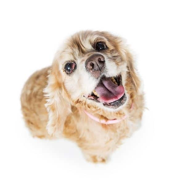 What is the right amount for a Cocker Spaniel to weigh