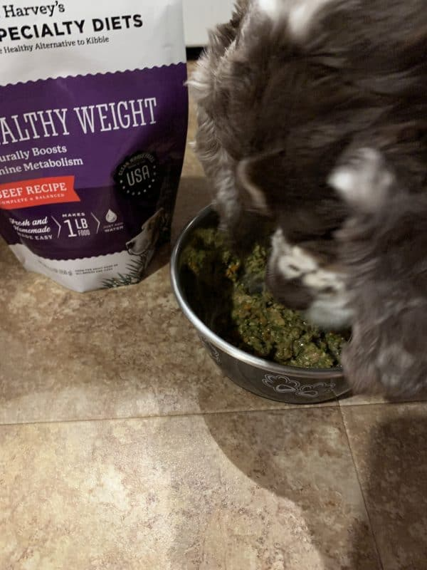 Cocker Spaniel eating food to help maintain his healthy weight