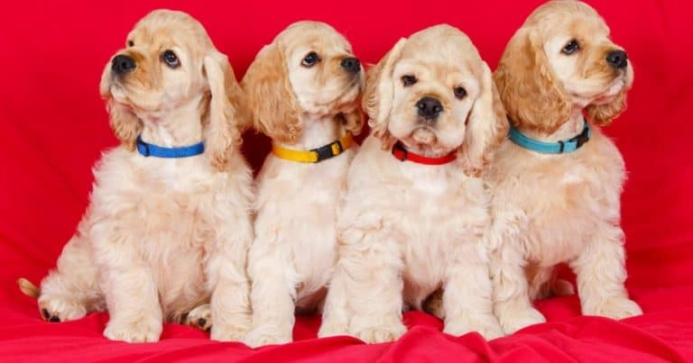 Is A Cocker Spaniel Breed Right For You?