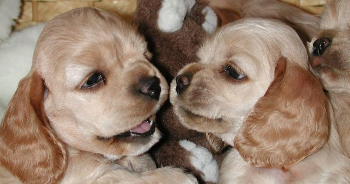 Blonde Cocker Spaniels for people with allergies
